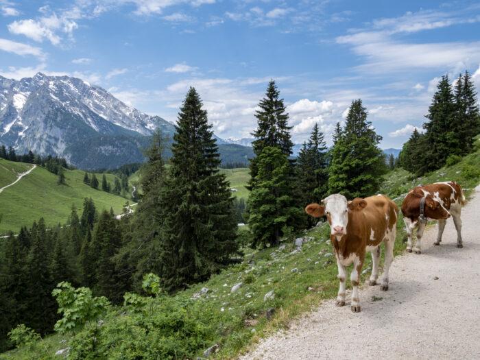Alpenhotel Fischer, Region, Kühe in den Berchtesgadener Alpen